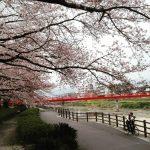 福岡市 桜が満開寸前です!