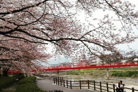 2016年福岡 桜 満開寸前