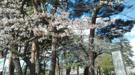 桜(宮城県)